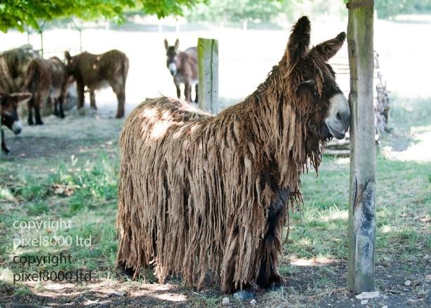 "Rare Le Baudet ""rasta"" dreadlocked donkeys."
