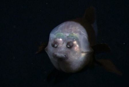barreleye-face